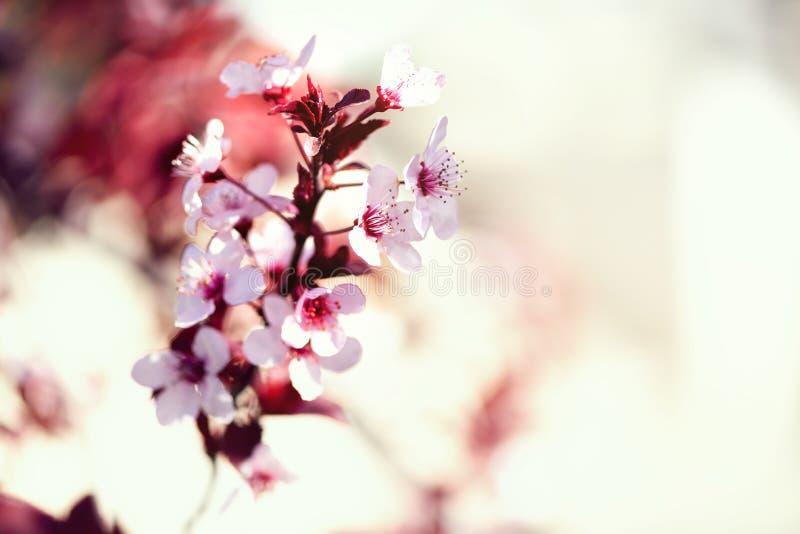Árvore de cereja japonesa de florescência Flores de sakura da flor Fundo da natureza do dia ensolarado e da mola Conceito de East imagens de stock royalty free