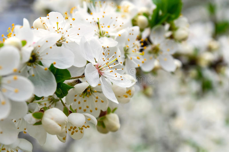 Árvore de cereja na flor imagens de stock royalty free