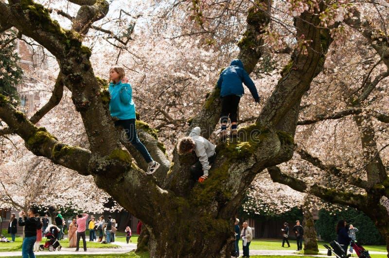 Árvore de cereja que escala na universidade de Washington imagem de stock royalty free