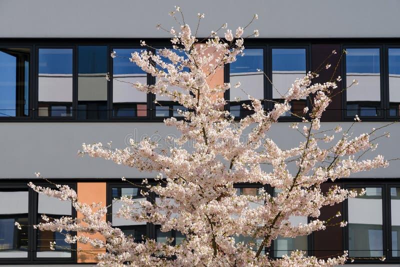 Árvore de cereja de sakura da flor da mola na jarda interna do prédio de escritórios moderno imagens de stock royalty free