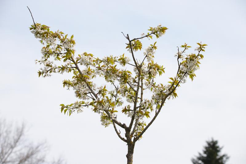 Árvore de cereja selvagem de florescência branca fotografia de stock