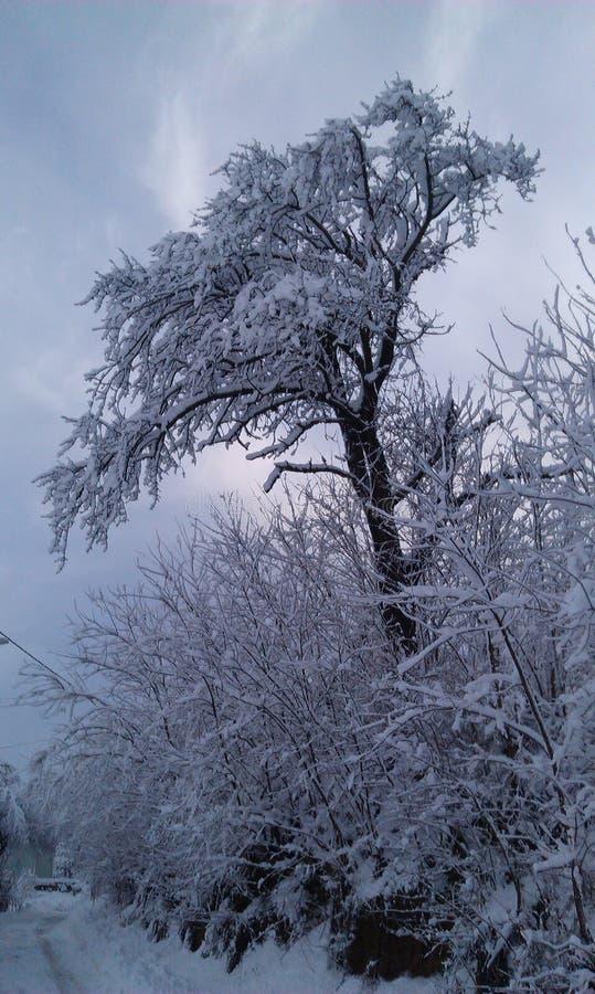 Árvore de cereja velha imagens de stock royalty free
