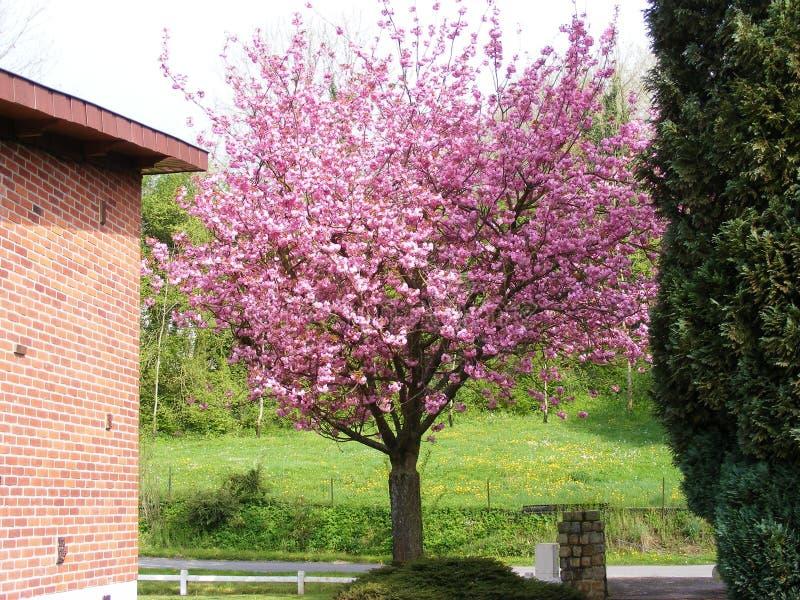 Árvore de Cherry Blossom com as flores cor-de-rosa da flor de cerejeira imagem de stock