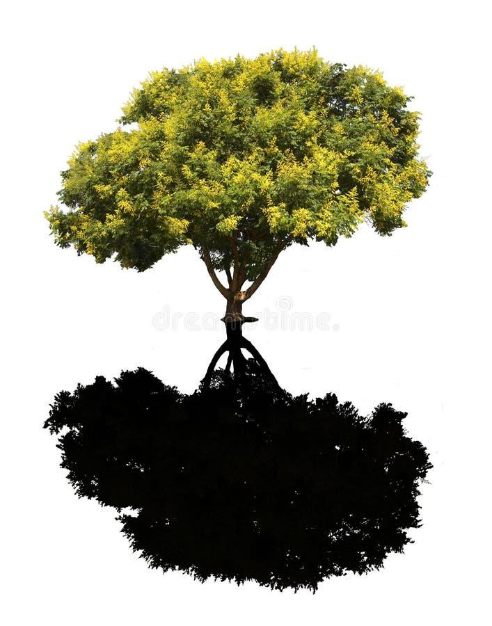 Árvore de chuva dourada fotografia de stock