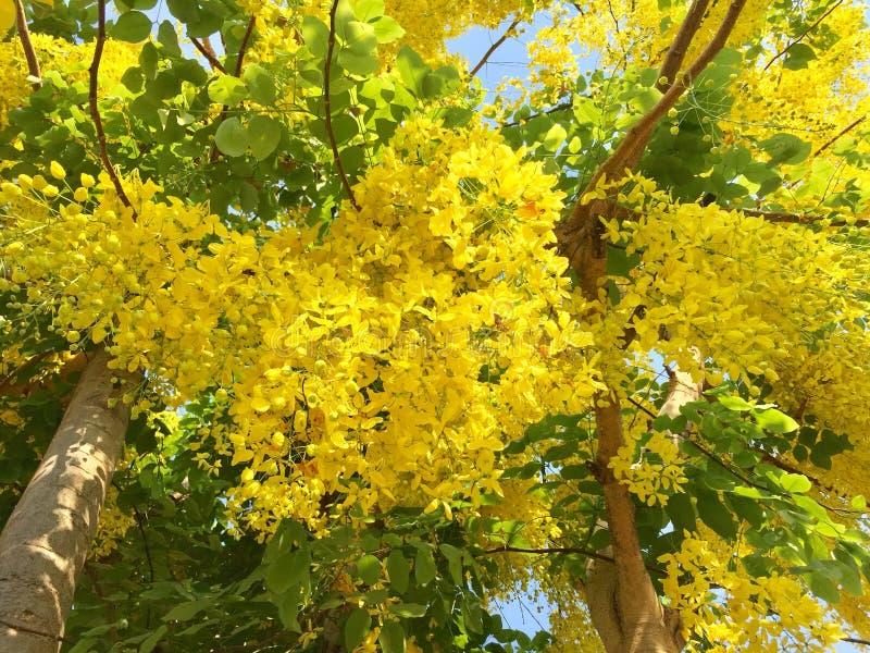 Árvore de chuveiro dourado foto de stock