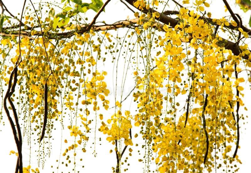 Árvore de chuveiro dourado fotografia de stock