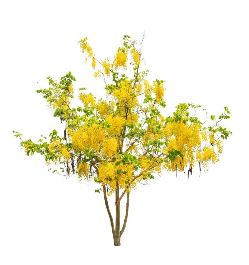 Árvore de chuveiro dourado (fístula da cássia) fotos de stock