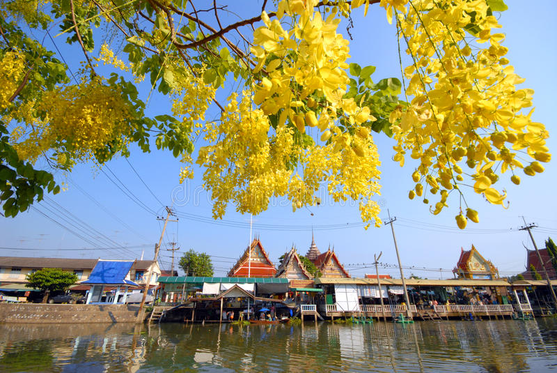 Árvore de chuveiro dourado na frente do templo. imagens de stock