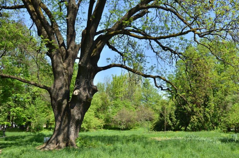 Árvore de cinza comum enorme velha fotos de stock royalty free