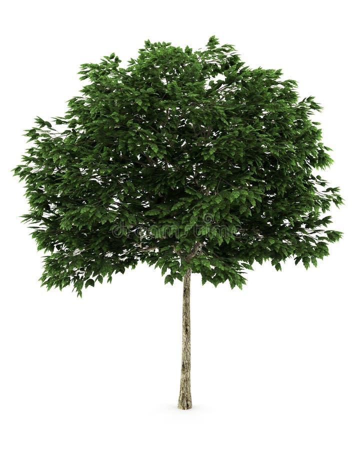 Árvore de cinza da montanha isolada no fundo branco ilustração stock