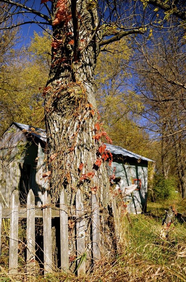 Árvore de cinza enorme no outono fotos de stock