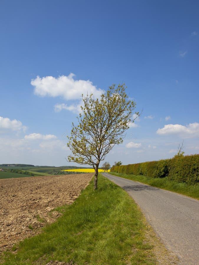 Árvore de cinza nova por uma estrada secundária na primavera imagem de stock