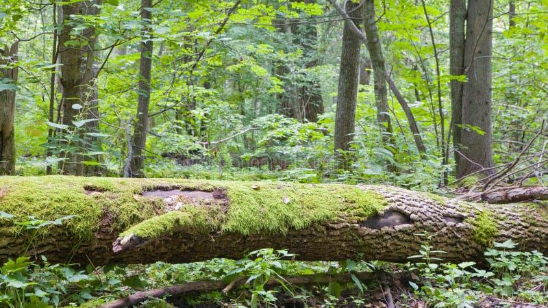 Árvore de cinza quebrada decompor quase imagens de stock
