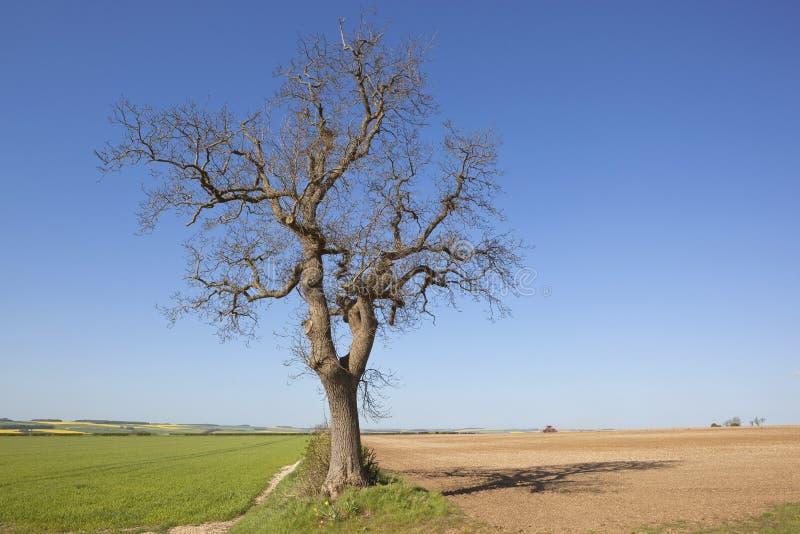 Árvore de cinza velha fotos de stock royalty free