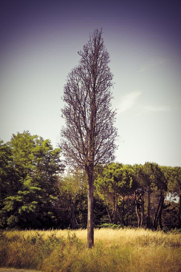 Árvore de cipreste inoperante - vítima do ambiente - imagem tonificada fotos de stock
