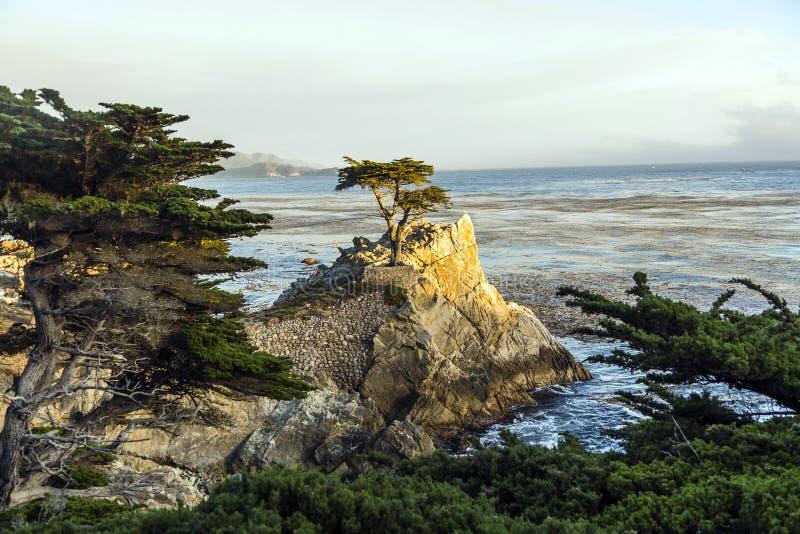 Árvore de cipreste solitária em Califórnia foto de stock