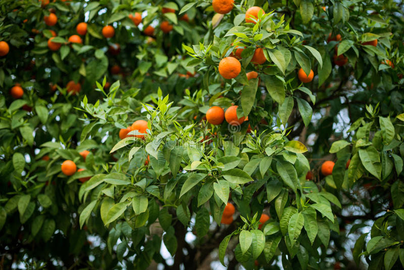 Árvore de citrino fotografia de stock royalty free