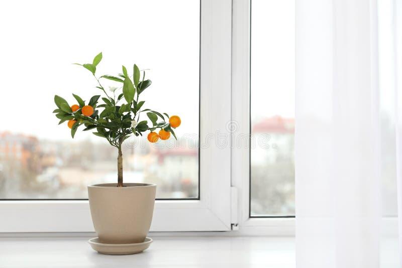 Árvore de citrino em pasta na soleira dentro imagem de stock royalty free
