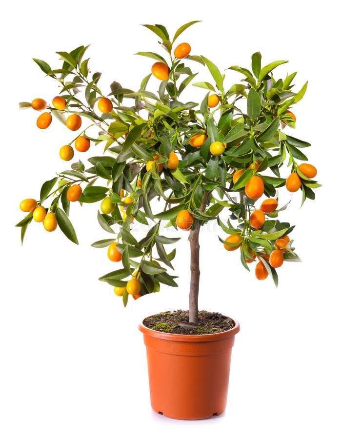Árvore de citrino pequena no potenciômetro foto de stock royalty free