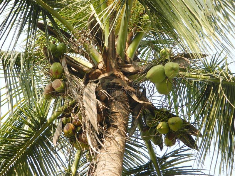 Árvore de coco com cocos verdes fotografia de stock