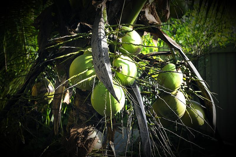 Árvore de coco curto em meu jardim imagem de stock royalty free