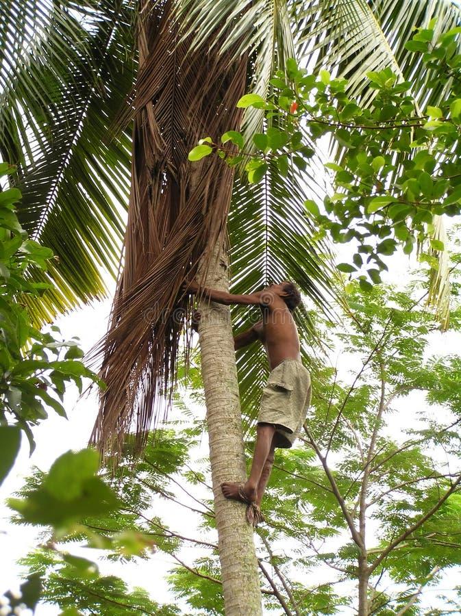 Árvore de coco de escalada do homem fotografia de stock