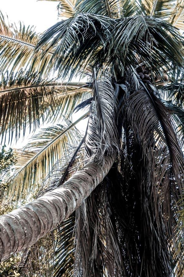 A árvore de coco e as folhas secadas são desordenadas muito imagens de stock royalty free