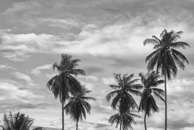 Árvore de coco em preto e branco imagens de stock