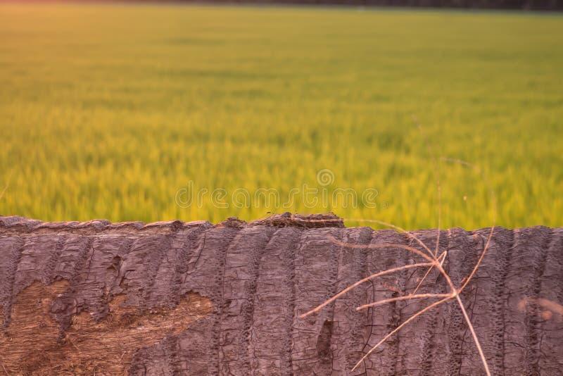 A árvore de coco encontra-se para baixo como o banco ninguém fundo do borrão do campo do arroz fotos de stock