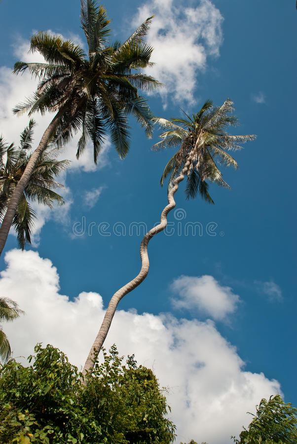 Árvore de coco espiral estranha imagem de stock