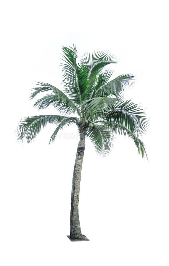 Árvore de coco isolada no fundo branco usado anunciando a arquitetura decorativa fotos de stock