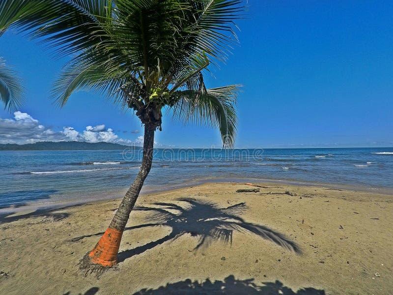 Árvore de coco na praia de Puerto Viejo, Costa Rica fotografia de stock