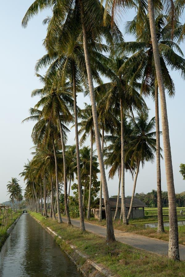 Árvore de coco no lado do countryroad com rio imagens de stock