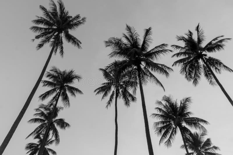 A árvore de coco preto e branco fotos de stock royalty free