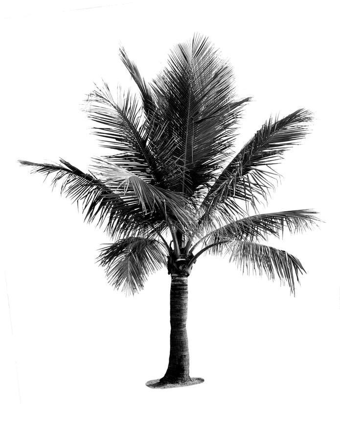 Árvore de coco preto e branco fotografia de stock royalty free