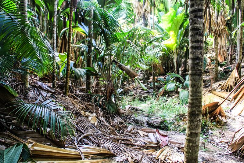 Árvore de coco de Vallee de Mai Sea da ilha de Seychelles Praslin imagem de stock royalty free