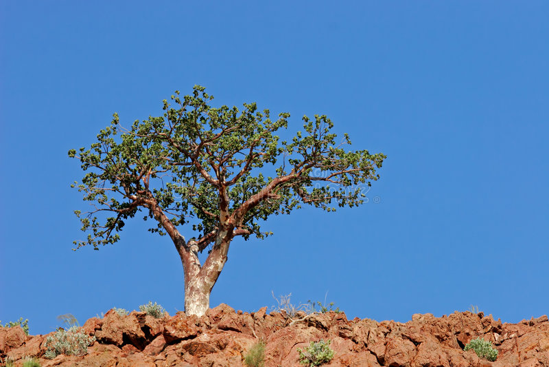 Árvore de Corkwood imagens de stock royalty free