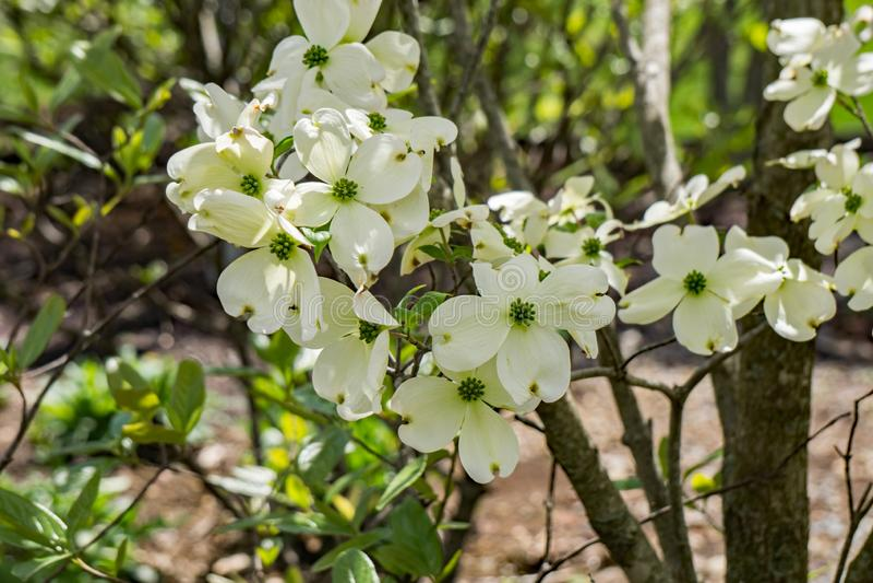 Árvore de corniso da florescência branca - Cornus florida foto de stock