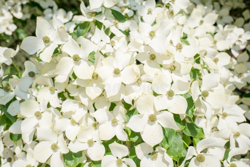 Árvore de corniso na flor no close-up imagem de stock royalty free