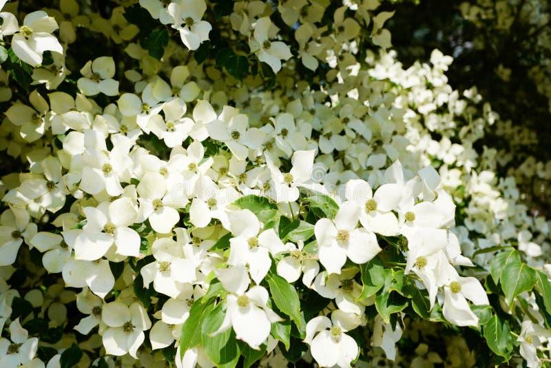 Árvore de corniso na flor no close-up imagens de stock