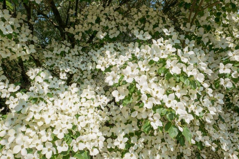 Árvore de corniso na flor no close-up imagens de stock royalty free