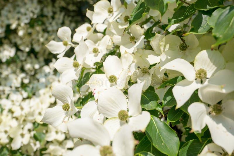 Árvore de corniso na flor no close-up fotos de stock