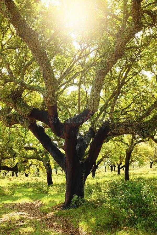 Árvore de cortiça imagem de stock