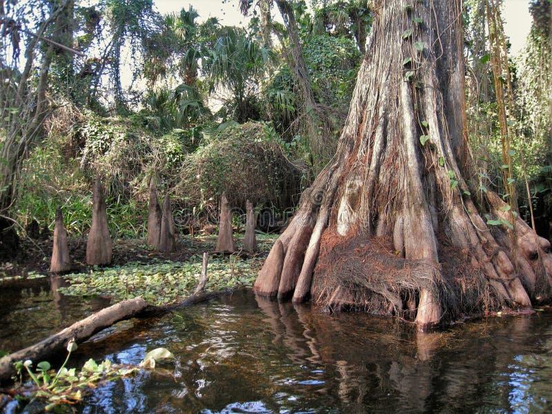 Árvore de Cypress do rio de Loxahatchee fotografia de stock