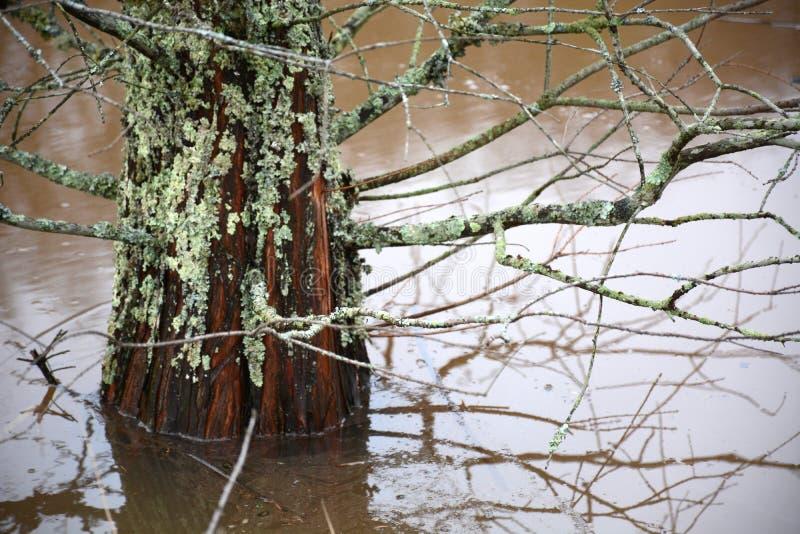 Árvore de Cypress na água imagem de stock royalty free