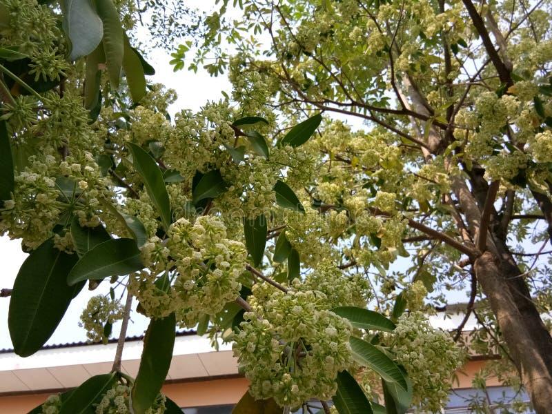 Árvore de diabo no jardim tailandês fotografia de stock royalty free