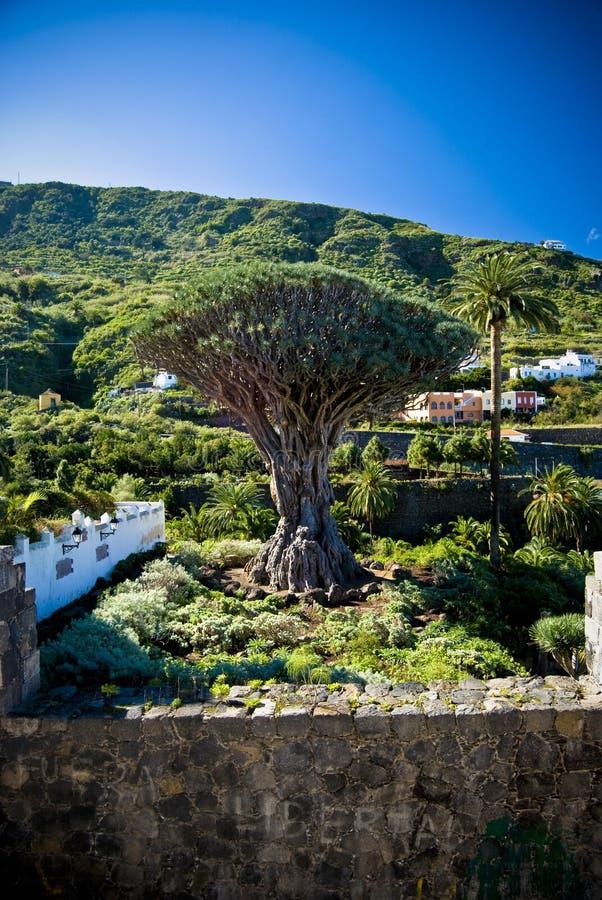 Árvore de dragão fotos de stock royalty free