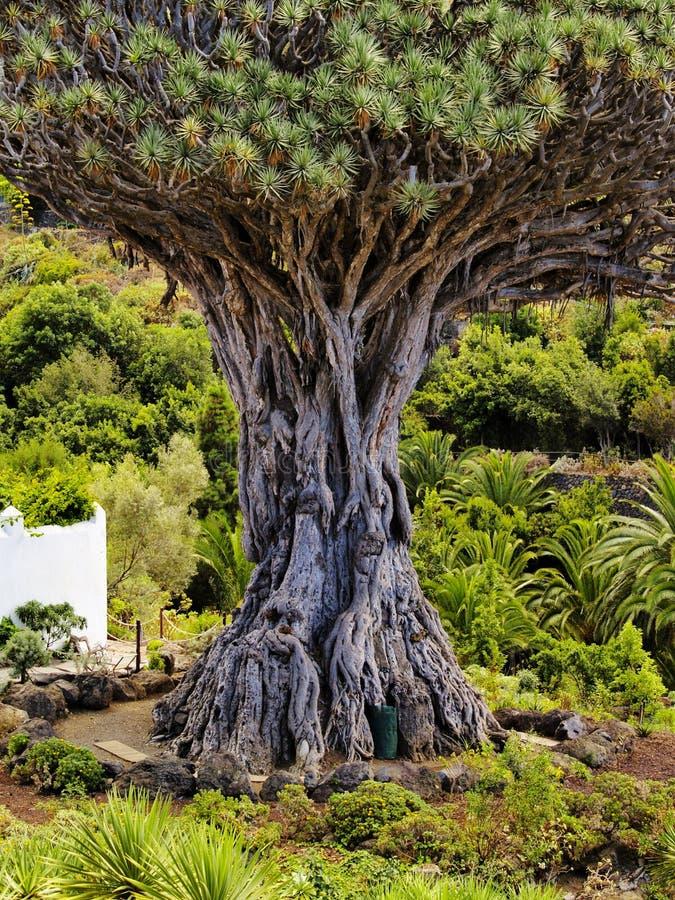 Árvore de dragão fotografia de stock royalty free