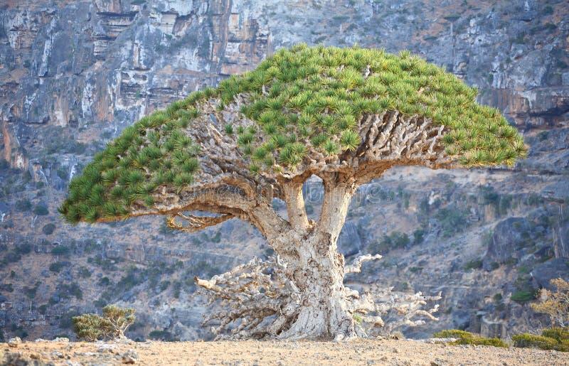 Árvore de dragão imagem de stock