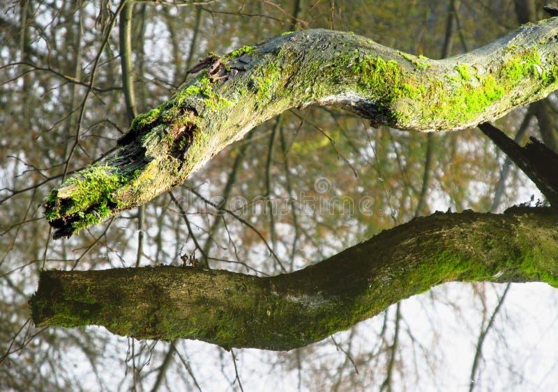Árvore de dragão imagens de stock